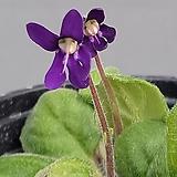 암동제비꽃|