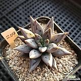 웅구아쿨라타209 Echeveria unguiculata