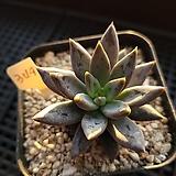 웅구아쿨라타349 Echeveria unguiculata