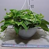 황금스킨답서스6번-화려한 황금무늬-실내식물인기식물-동일품배송|