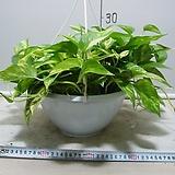 황금스킨답서스7번-화려한 황금무늬-실내식물인기식물-동일품배송|