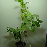 공작야자1-나비야자-중대품-특이한잎-동일상품배송|