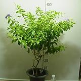 발렌타인쟈스민7-외목대 높이 95센치-앙증맞고 꽃도이쁘고-동일품배송|