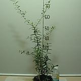 올리브나무20번-공기정화-알러지-비염에 좋은효과|