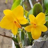 캔디볼+소프로니스트 세루누아.(노랑색꽃).신상품입고. 잎,꽃앙징맞고 예쁩니다.토분.인기상품.~|