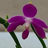 호접원종.B3번.P.Germaine Vincent White Edge+sib실생.진한자주핑크색.꽃모양예쁨.고급종.상태굿.귀한품종.아주좋은 향기가 끝내줍니다.잎상태 좋지 않습니다|