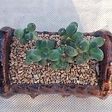 천대전송ㆍ화분포함|Pachyphytum compactum