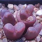 코노피튬레드군생 최상급 Conophytum