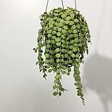 디스케리아 넘눌마리아 넘눌콩 행잉플랜트 에어플랜트 공중식물 공중걸이식물|Echeveria agavoides Maria