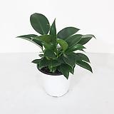 필로덴드론 애플 콩고 실내정화식물 공기청정식물 반음지식물|