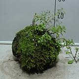 제주화산석이끼석부-기린초식재-병아리난초등 심으면-동일상품배송|