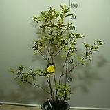 진노랑만병초3-개나리빛꽃이피는 만병초-동일상품배송|