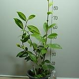 금성동백1-연노랑둥근꽃-은은한향기-동일상품배송|