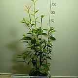 금성동백2-연노랑둥근꽃-은은한향기-동일상품배송|