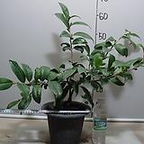 초황동백3-연노랑둥근꽃-은은한향기-동일상품배송|