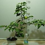 가고시마오색동백2-호랑무늬오색꽃동백-동일품배송|