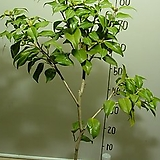 가고시마오색동백3-호랑무늬오색꽃동백-동일품배송|