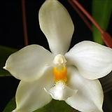 호접원종.4번.P.micholitzii.실생.예쁜백색.화이트.꽃모양예쁨.고급종.상태굿.귀한품종.너무나예뻐요.아주좋은 향기가 끝내줍니다.~|
