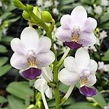 호접원종.B8번.P.Sus Glad Kid Blue.실생.흰색에진보라색립프.꽃모양예쁨.꽃이 작고 귀여운편.고급종.상태굿.귀한품종.너무나예뻐요.아주좋은 향기가 끝내줍니다.~|