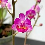 호접원종.B9번.P.appendiculata+pulcherrima.실생.예쁜진핑크색.꽃모양예쁨.잎은 작은편.고급종.상태굿.귀한품종.너무나예뻐요.아주좋은 향기가 끝내줍니다.~|