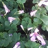 분재사랑초(핑크)|