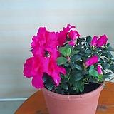 연산홍꽃 공기정화|