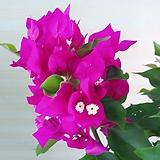 부겐베리아꽃 공기정화|