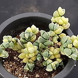 벽어연금3142|Corpuscularia lehmanni