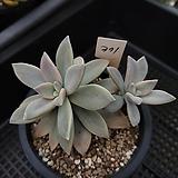 담설금371 Graptopetalum Paraguayensis Awayuki