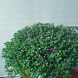 국화꽃 몽오리가득 월동|Echeveria Riga