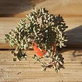 베라하긴스합식 0918-38|Graptopetalum Mirinae