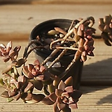 프리티합식목대 098-43|Graptoveria Gilva