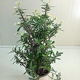 (단품)노랑꽃기린 묵은둥이|