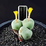 4630-Conophytum calculus   백비취옥 白翡翠玉3두|