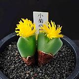 4637-Conophytum cv. 小菊の舞  소국의 무 2두|