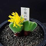 4638-Conophytum cv. 小菊の舞  소국의 무 3두|