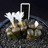 4649-C.pellucidum pardicolor  파디칼라 5두  |