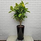 ♥뱅갈 고무나무 개업,이전, 집들이선물 ♥공기정화식물 