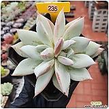 콜로라타hy Echeveria colorata