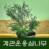 조경 관상수 신품종 계관운용삼나무 화분 