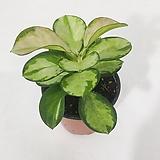 호야 리사 신종 호야 인테리어식물 공기정화식물|