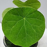 스테파니아수베로사구근식물/동일품배송 |