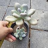 성미인 묵은둥이|Pachyphytum oviferum