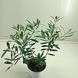 긴잎 올리브/자가수정|