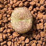 마우가니교배종-588|Conophytum maughanii