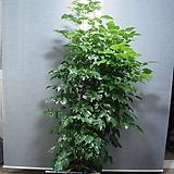 신종녹보수53번-외대-공기정화 최고식물-높이160센치-동일품배송|