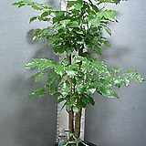 신종녹보수54번-외대-공기정화 최고식물-높이-130센치-동일품배송|Sedum dendroideum