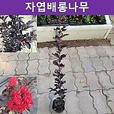 자엽배롱나무 블랙다이아몬드(적색꽃) 포트묘(2개묶음) 가림원예조경|