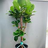 수형이쁜 떡갈고무나무 특대품/ 동일품배송/ 높이 150 너비 78|