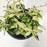 황금마삭 황금마삭줄 야생화 공기정화식물|